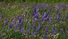 Silver Lupine (Lupinus argenteus) with Prairie Smoke (Geum triflorum)