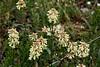 Long-Stem Clover  (Trifolium longipes)