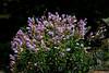 Mountain Penstemon (Penstemon montanus)